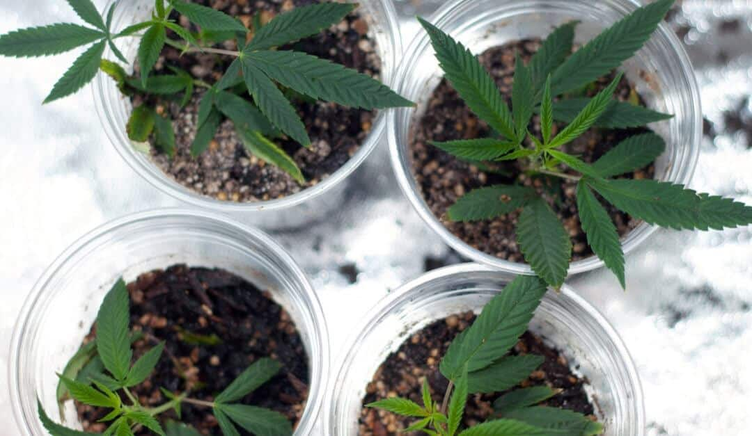 cannabis plants and how to clone